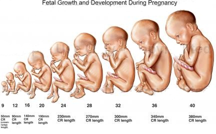 desarrollo del feto humano: